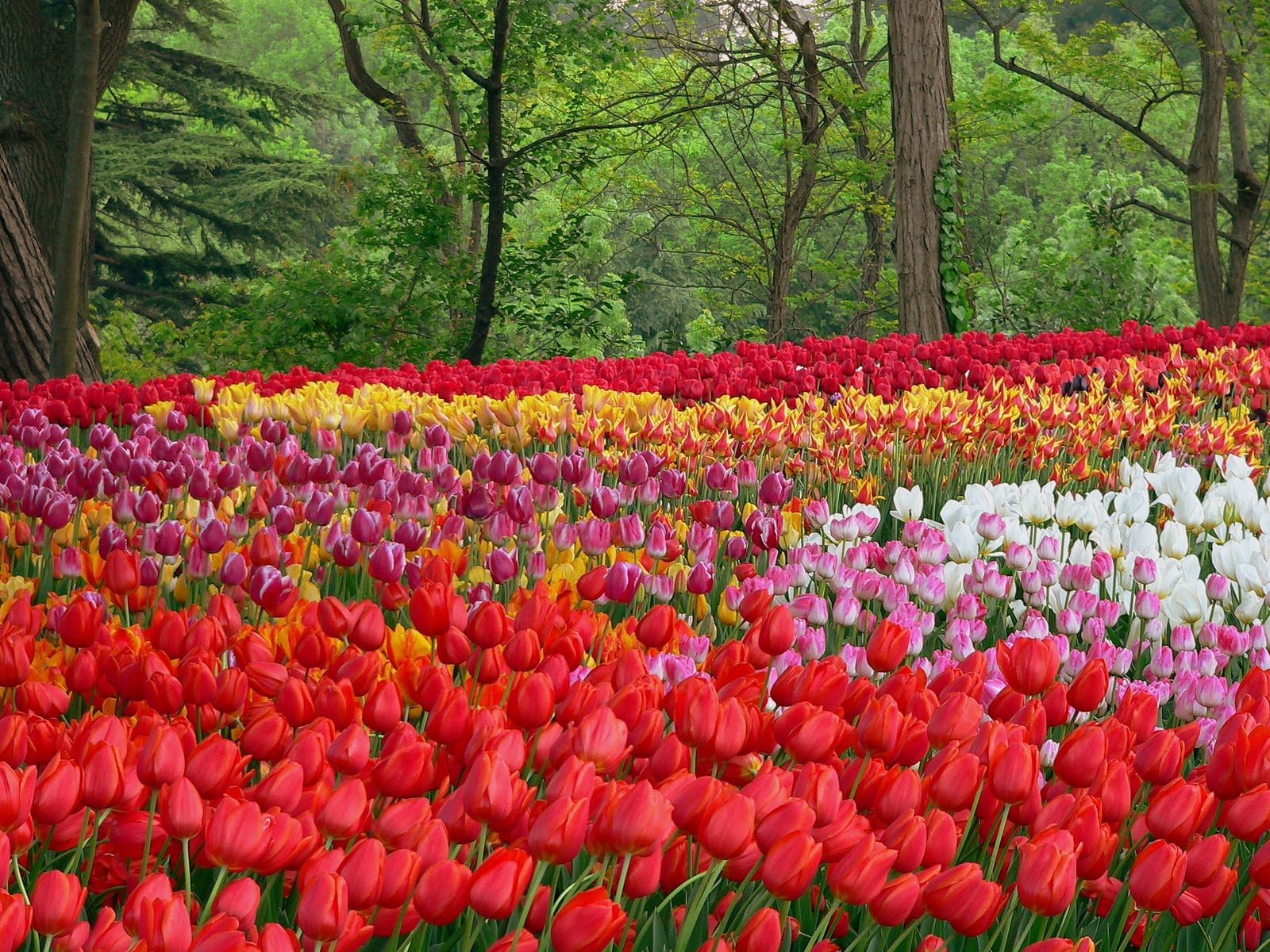 Save the end of season tulip bulbs from the public parks for What season are tulips